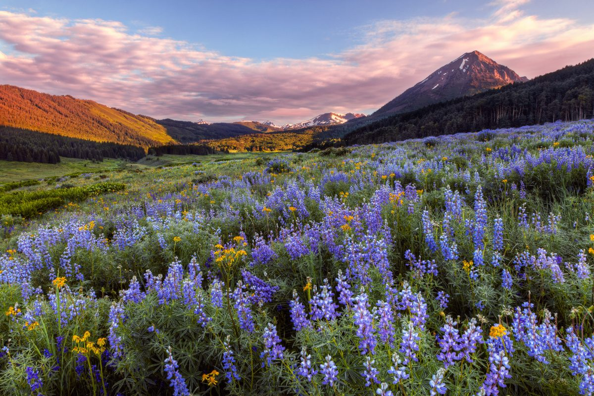 Lupine_Sunrise_V2 (1)